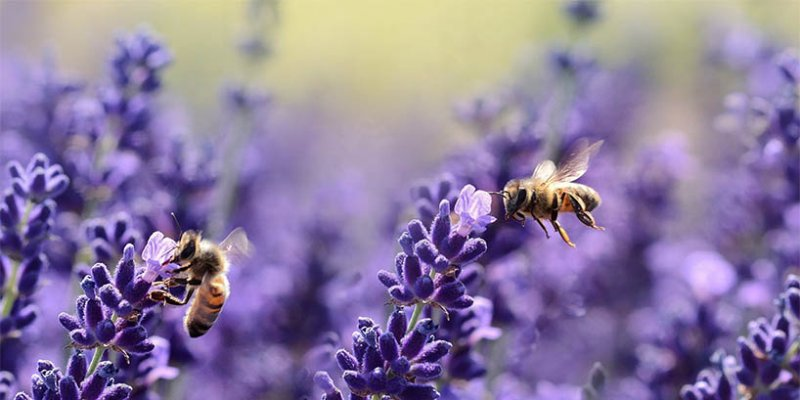 Met Lavendel - Honigwein aus Lavendelhonig